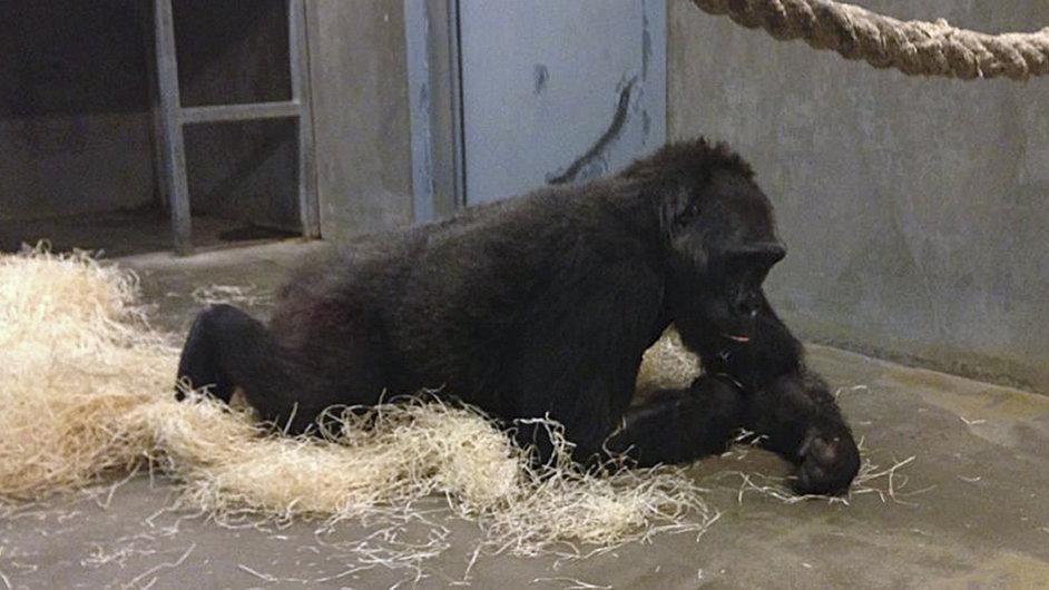 Gorila Kamba.