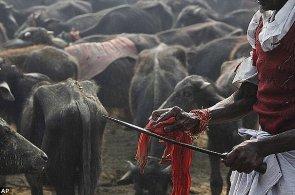 Nepál se promění v jatka. Za oběť bohyni Gadhimai padnou statisíce zvířat