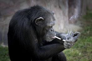 Čeští lemuři se krmí dýní, šimpanzovi v KLDR stačí cigarety. Podívejte se na nejlepší snímky týdne