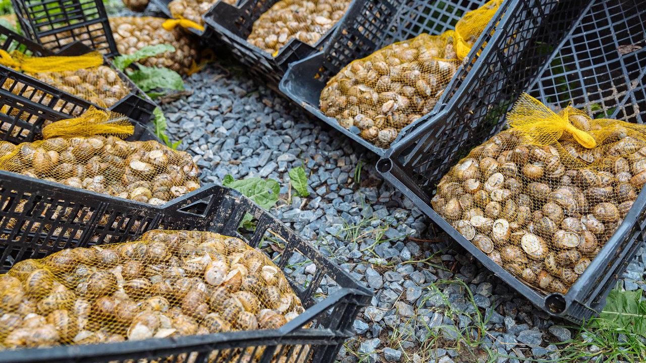 Návrat delikatesy: Farma Love Snails chová šneky druhů Helix aspersa maxima aMüller. Jejich maso je chutnější než nejznámějších hlemýžďů zahradních.