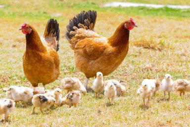 Vědci pro vytvoření odolnosti vůči nevyléčitelné aviární leukóze upravili genetickou informaci slepic.