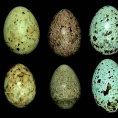 Vejce r�zn�ch lini� kuka�ek (horn� �ada) se zbarvuj� podle toho, jak�mu pta��mu druhu je kuka�ka klade do hn�zda.