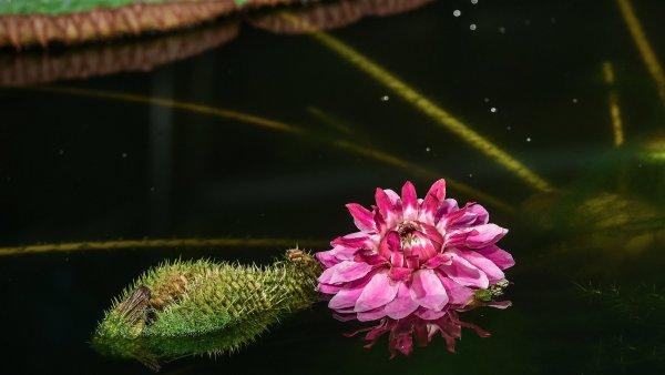 V botanick� zahrad� v Liberci kvete nejv�t�� lekn�n sv�ta. Letos poprv� ho mohou vid�t i n�v�t�vn�ci