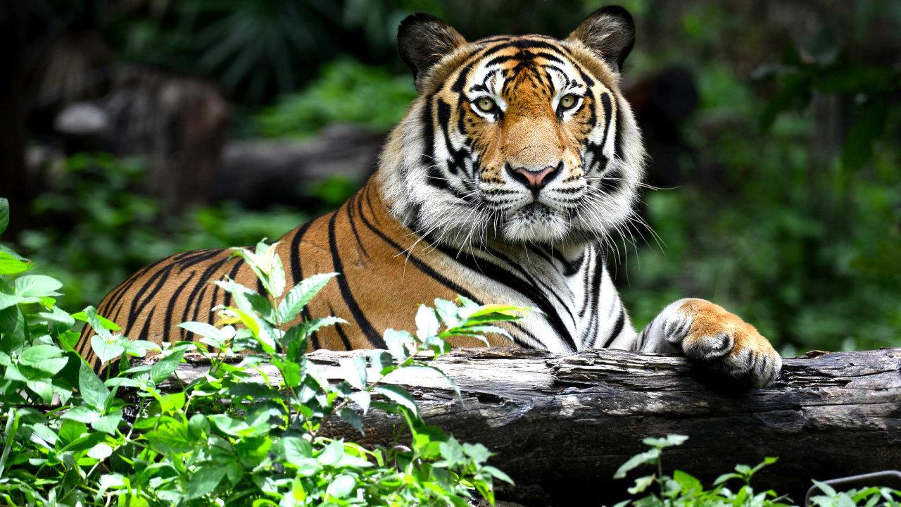 Už se množí. Tygr byl před několika desetiletími na vyhynutí, ale programy na jeho záchranu jsou účinné, populace roste a brzy by měla dosáhnout dvojnásobku nedávného minima.