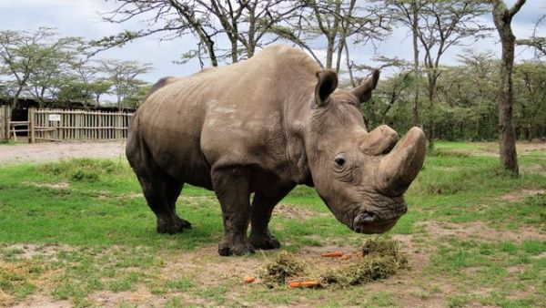 Poslední na světě žijící samec nosorožce severního bílého uhynul letos v březnu.
