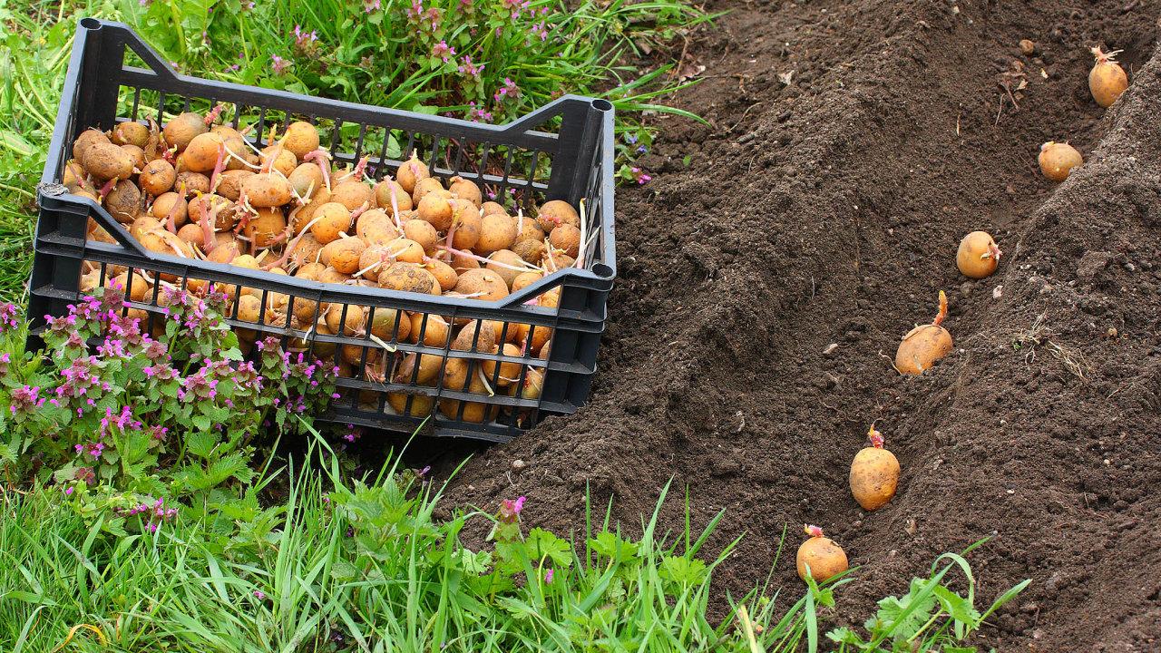 Sázení brambor