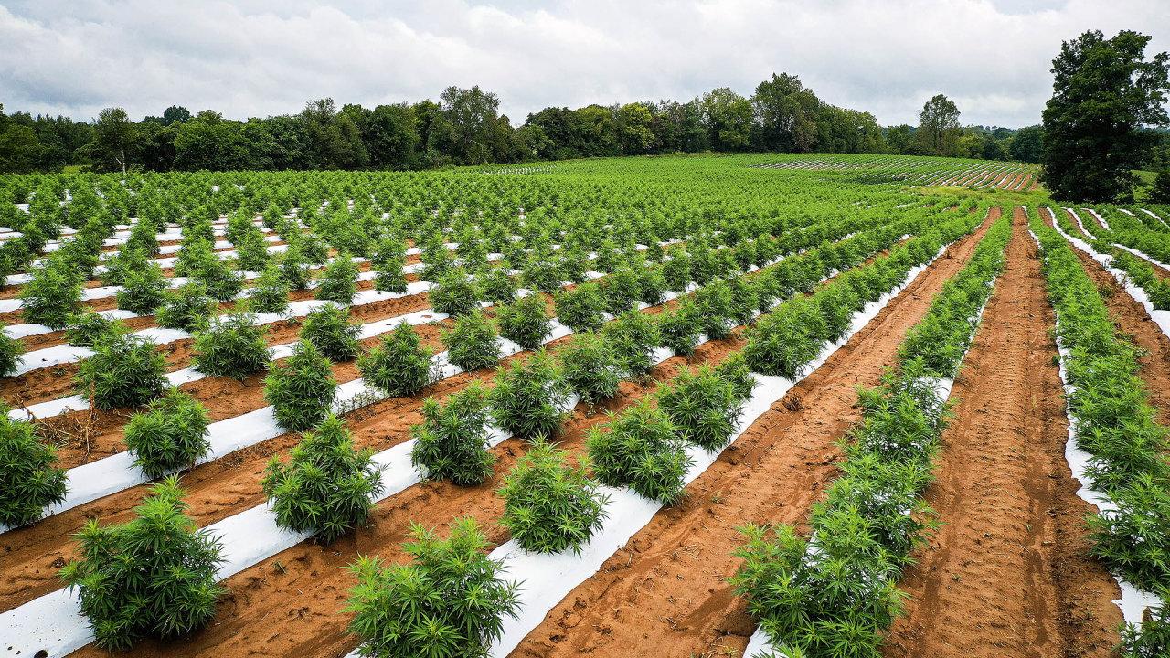Technické konopí je možné pěstovat bez povolení. Zemědělci pouze musí zasadit vybrané druhy, které obsahují nízký podíl psychotropní složky.