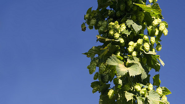 �ateck� chmel je jedine�n� vysok�m obsahem aromatick�ch l�tek. Jeho kvality oslav� o v�kednu do�esn� v centru �atce.