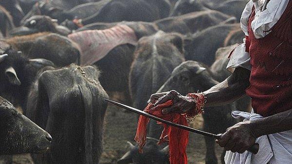 Nep�l se prom�n� v jatka. Za ob� bohyni Gadhimai padnou statis�ce zv��at