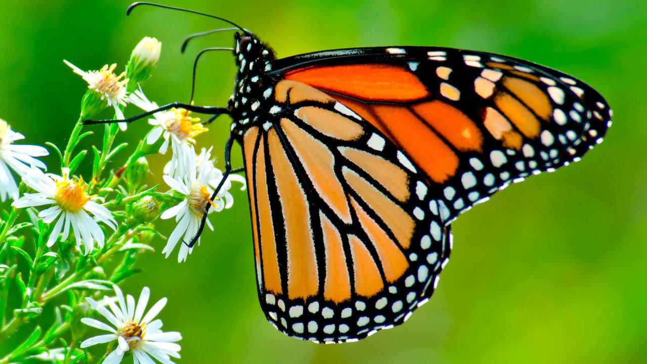 Každý rok se tisíce monarchů stěhovavých vydávají nadlouhé putování zeSeverní Ameriky dostředního Mexika, kde přezimují. Tuto cennou oblast ale ohrožují těžaři dřeva.