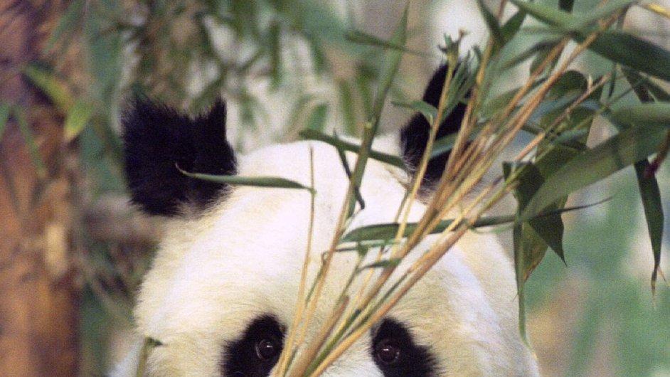 Zemřela nejstarší panda na světě