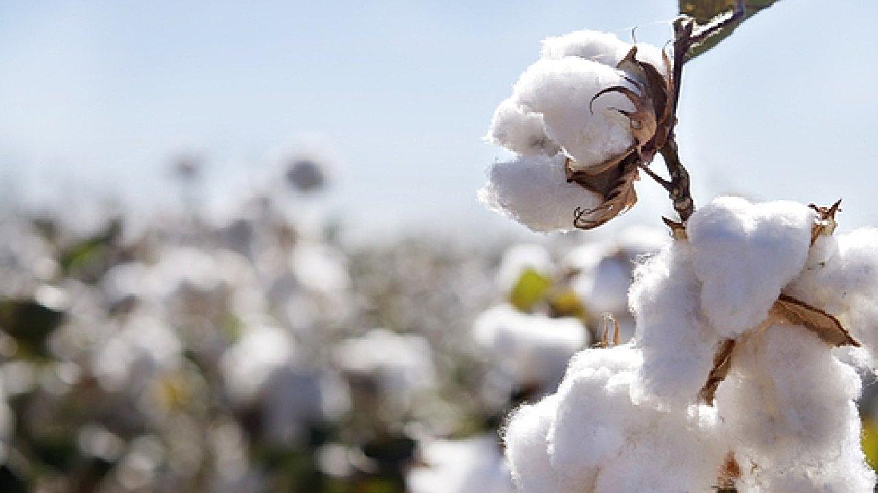 Plantáž organické bavlny - Ilustrační foto