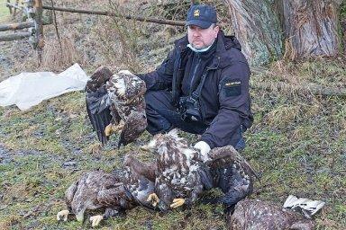 Potvrzeno, čtyři vzácné orly mořské otrávil zakázaný karbofuran. Další otravy dravců v Česku stále přibývají