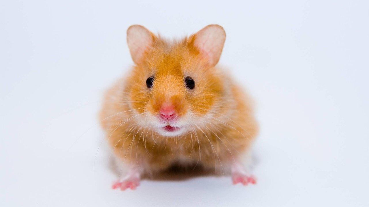 Čeští vědci zkoumali piRNA křečka zlatého, jež mají ktěm lidským blíž než piRNA myší.