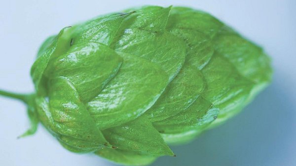 Nejslavnější odrůda českého chmele, žatecký poloraný červeňák. Po celém světě je vnímán jako standard kvality.