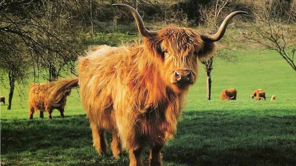 Na pozemcích v Bedřichově chce farmář chovat highlandský skot – ilustrační foto