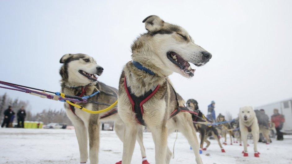 Účastníci aljašského Iditarod Trail Sled Dog