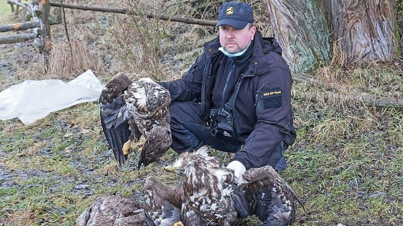 Čtyři orli mořští na Klatovsku umírali vkřečích po otravě zakázaným nervovým jedem. Každá taková otrava je podle ornitologů velkou ztrátou. V Česku nyní hnízdí jen kolem 130 párů orlů mořských.