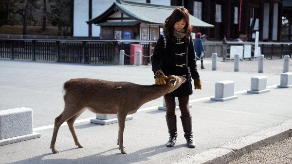 V japonské Naře žije přes tisíc jelenů. Posvátná zvířata se prochází volně po zdejším parku i celém městě - Ilustrační foto.