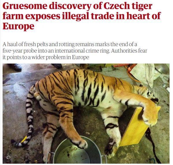 Tygři - Berousek