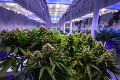 Současné ohodnocení marihuanových společností na burzách lze považovat za nadsazené. Ilustrační foto.