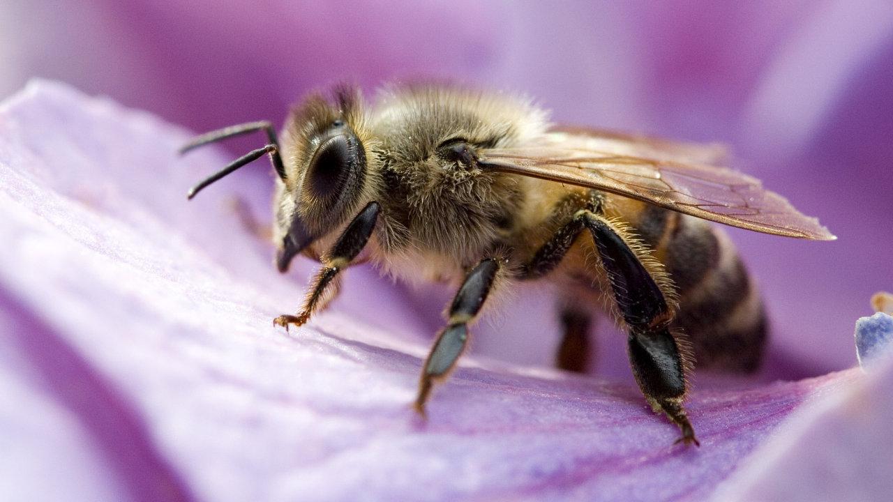Včely si během výzkumu jejich matematických dovedností vyzkoušely jednoduchý labyrint.