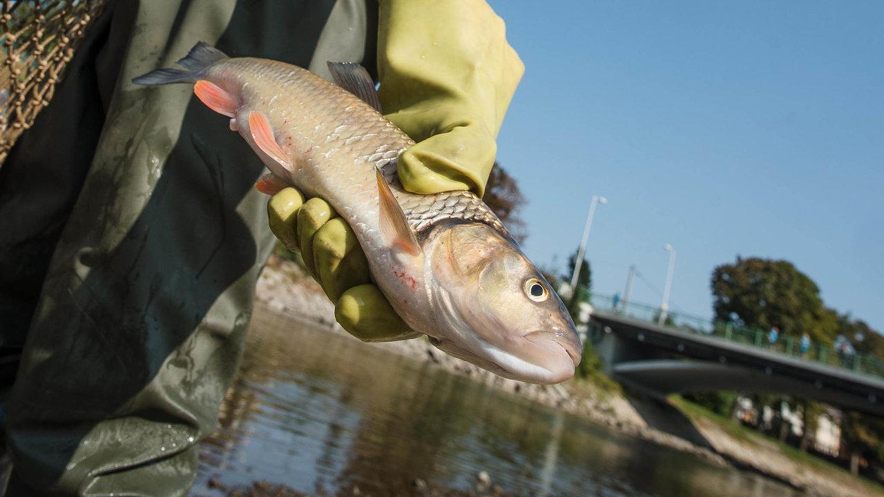 Případ ekologické havárie, jež zapříčinila masivní úhyn ryb v Bečvě, převzali od inspekce životního prostředí vsetínští kriminalisté. Původce, jenž vodu otrávil kyanidem, ale oficiálně známý není.