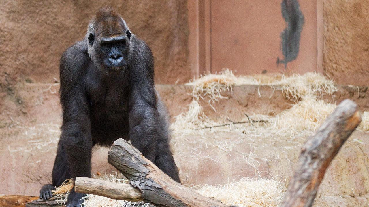 Gorily jsou chloubou pražské zoo. Ilustrační foto