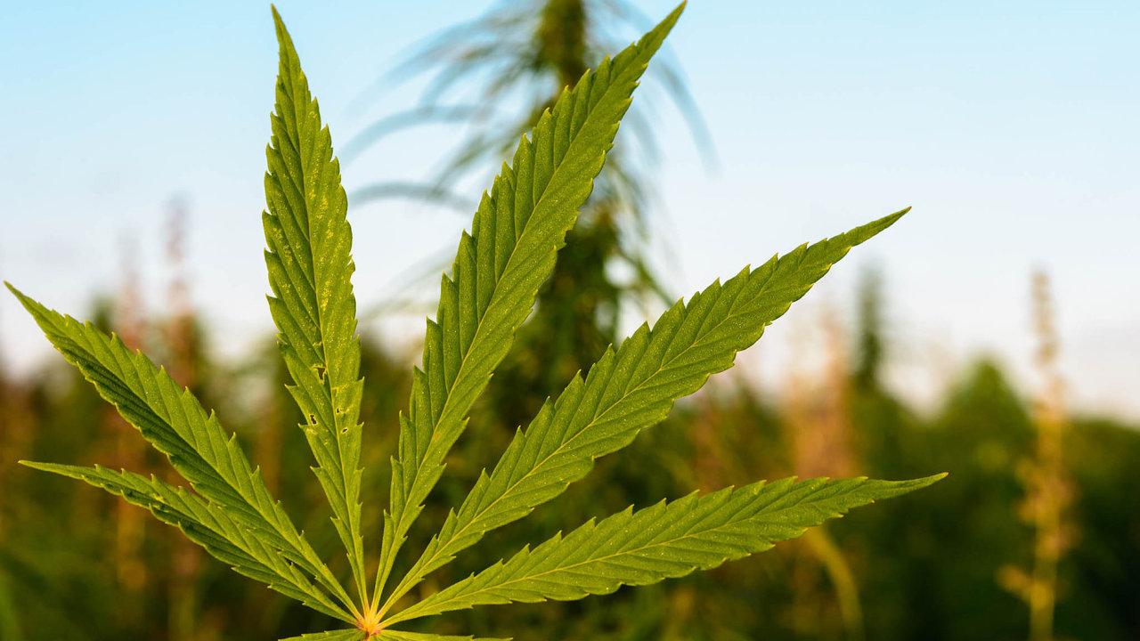 Ani popěti letech, co platí zákon povolující užívání léčebného konopí, marihuana včeských ordinacích nezdomácněla. Předepisuje ji jen hrstka lékařů.
