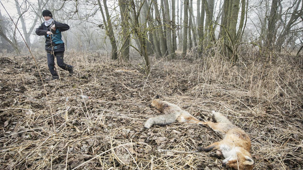 Klára Hlubocká je jediná kynoložka v Česku se specializací na vyhledávání otrávených zvířat v přírodě. Fotoreportén HN s ní vyrazil do terénu.