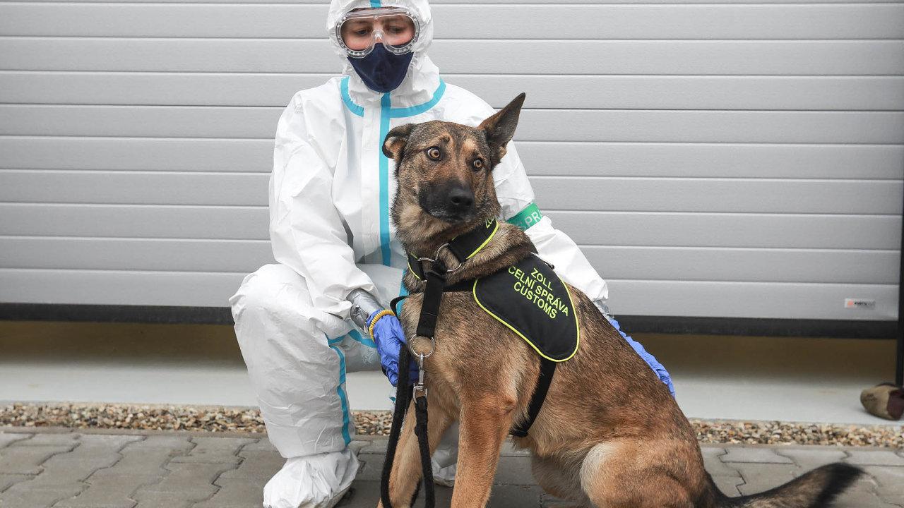 Nový úkol pro psy celníků: celní správa vyčlení šest zesvých více než 70 služebních psů narozpoznávání lidí sonemocněním covid-19. Zatím hledali drogy či peníze.