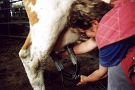 kráva, mléko, dojení