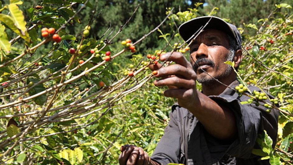 Kávová plantáž.