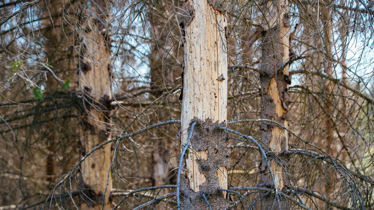 Debakl, který zatím českým lesníkům kůrovec uštědřuje, dokumentují čísla.