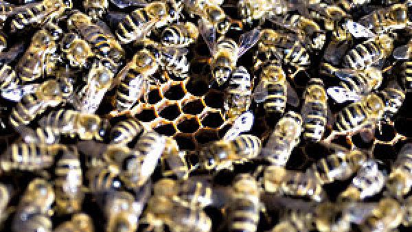 Do města jsou vhodné včely krotších plemen.