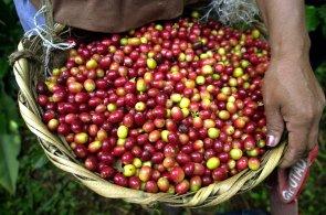 Místo plantáže radši do armády. Kolumbijskou kávu ohrožuje nedostatek sběračů