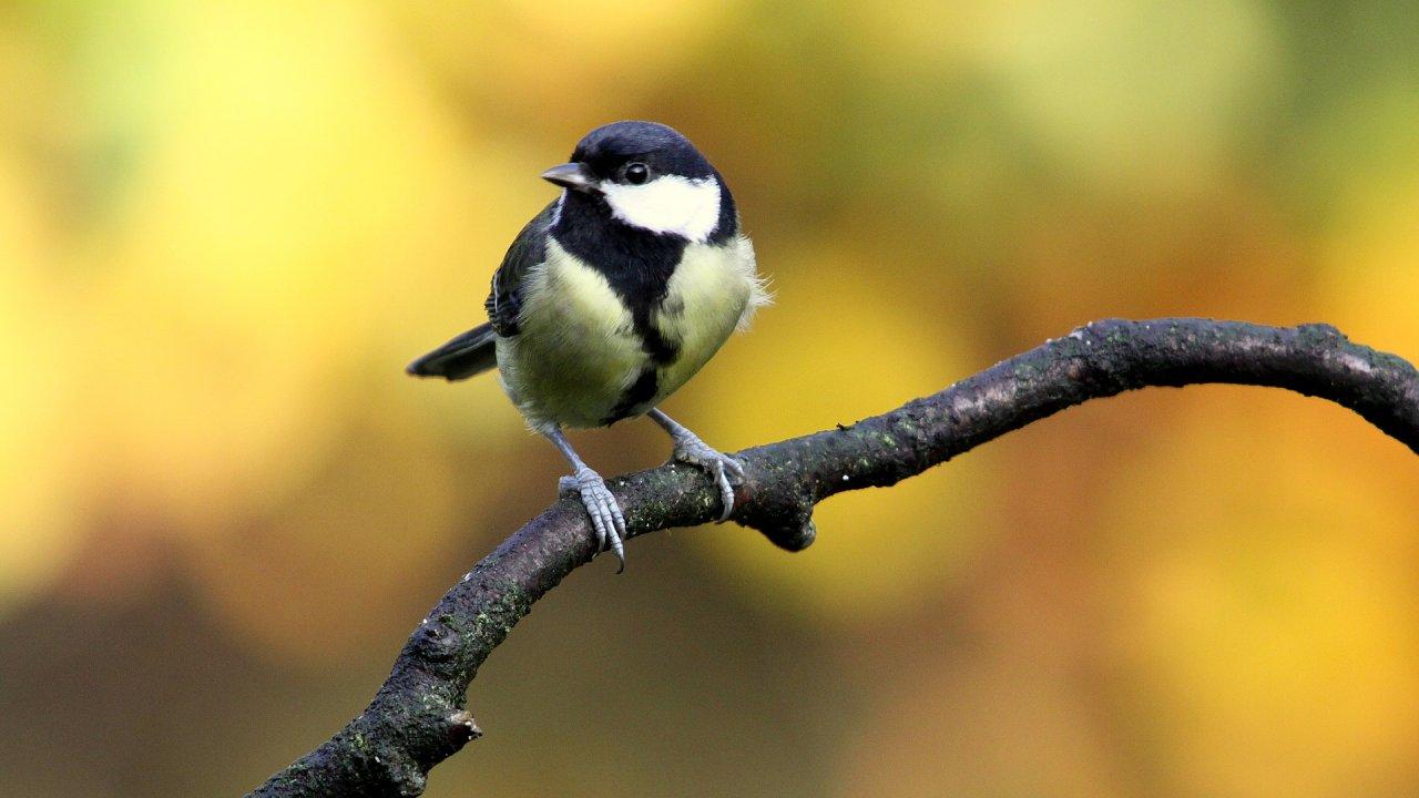 Sýkora koňadra je pro mnohé mírumilovným ptákem. Zdání však klame.