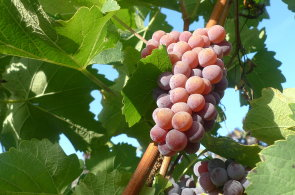 Svatomartinské víno: Co musí splňovat a dokdy bychom ho měli vypít?