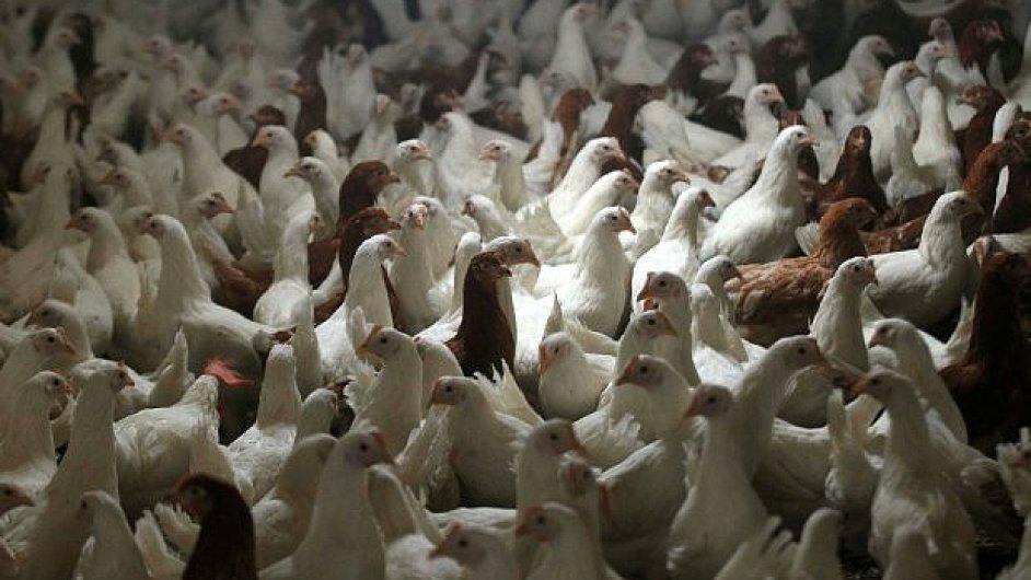 Ptačí chřipka zasáhla Polsko, které je největším producentem drůbeže v Evropské unii - Ilustrační foto.