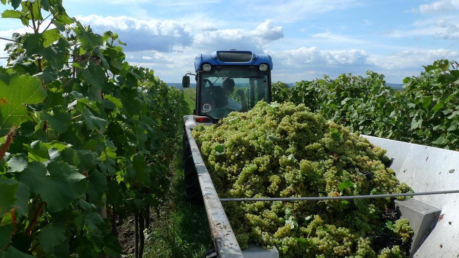 Vinařství Habánské sklepy letos naplnilo 113 tisíc lahví Svatovavřineckého vína.