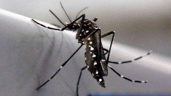 Kom�r Aedes aegypti, kter� ���� virus zika.