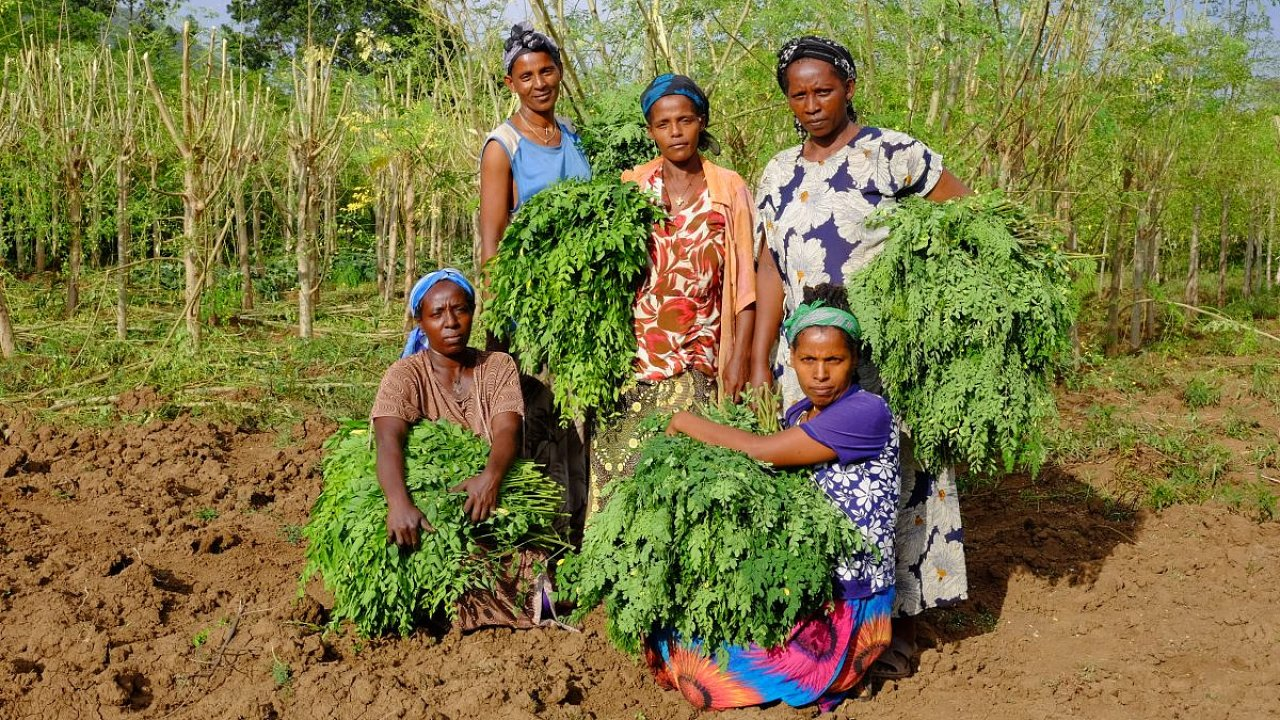 Česká rozvojová agentura pomáhá etiopským pěstitelům superpotraviny moringa dostat se na evropský trh.