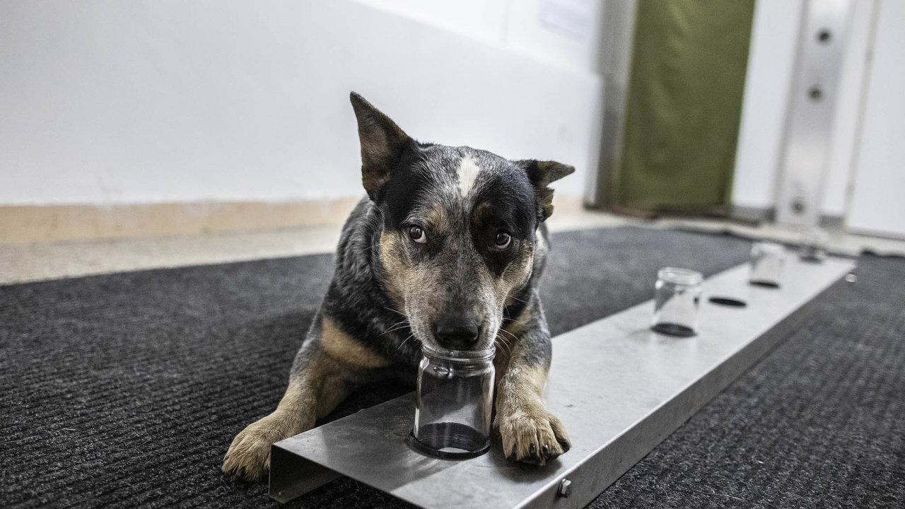 Časem bude pravděpodobně možné pomocí psů vyhledávat místa, kde se pohybovaly nakažené osoby nebo se psy provádět screening přítomnosti možných pozitivních osob bez příznaků. Ilustrační foto.
