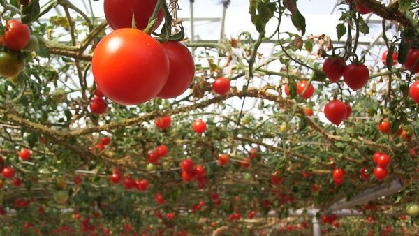 Americký stát Florida ročně vyprodukuje asi 400 tisíc tun rajčatového odpadu - Ilustrační foto.