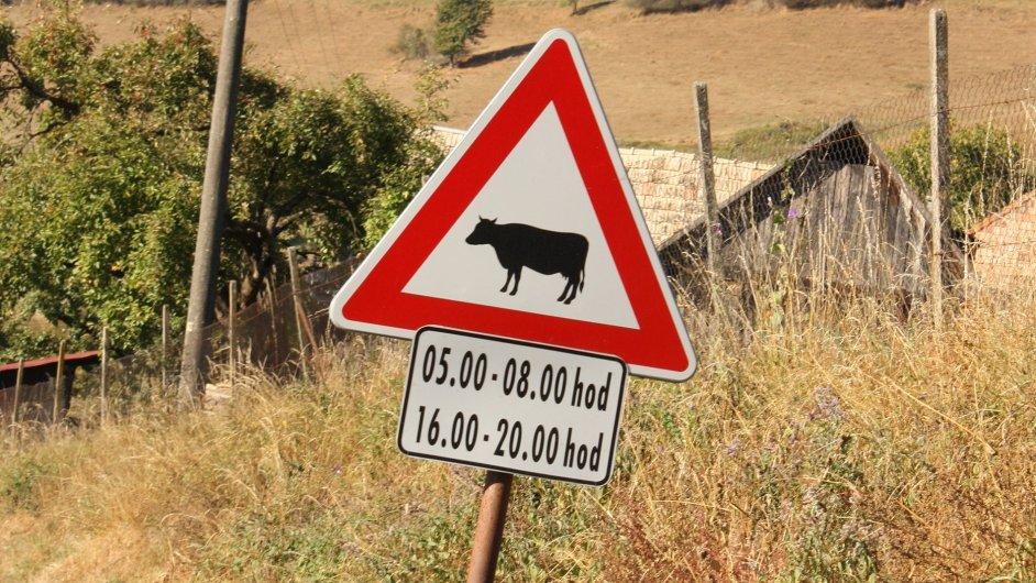 Mezi pátou a osmou hodinou pozor na krávy