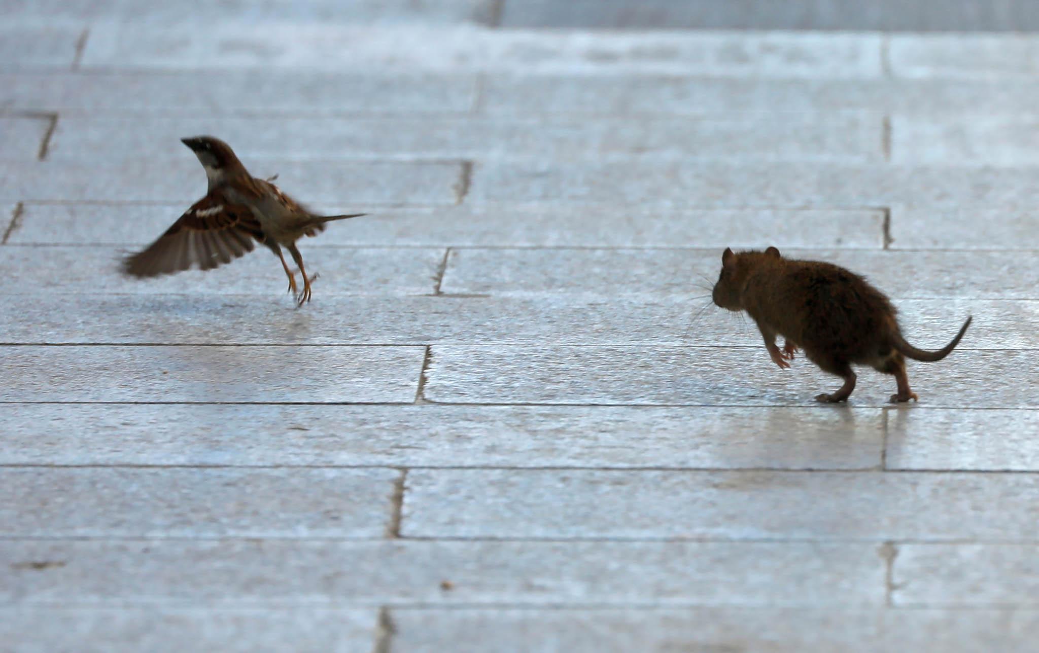 VNew Yorku jsou krysí kolonie, které sejiž pogenerace spoléhají nazásoby vyhozeného jídla, jež seobjevují každou noc vpopelnicích urestaurací. Nyní kvůli restrikcím spojeným skoronavirem tento zdroj potravy vysc...
