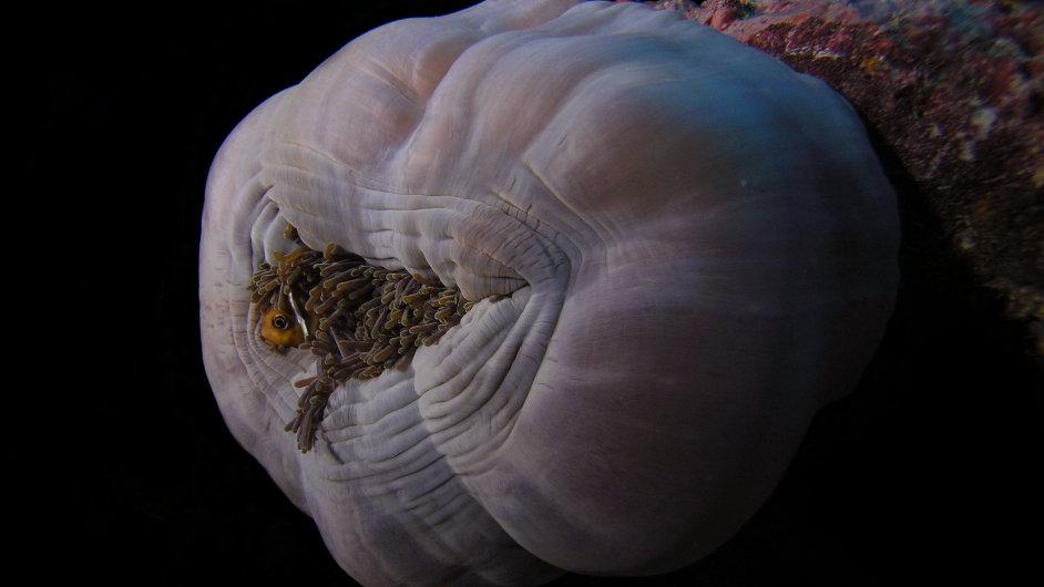 Korálová ryba klaun je nerozlučně spjata se svou sasankou.