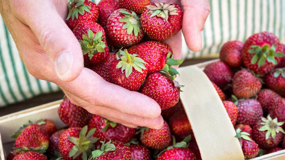 Sklizeň jahod, ilustrační foto