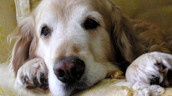 V Česku chybí zákon, který by upravoval práva osob doprovázených asistenčním psem, upozorňuje ombudsmanka.