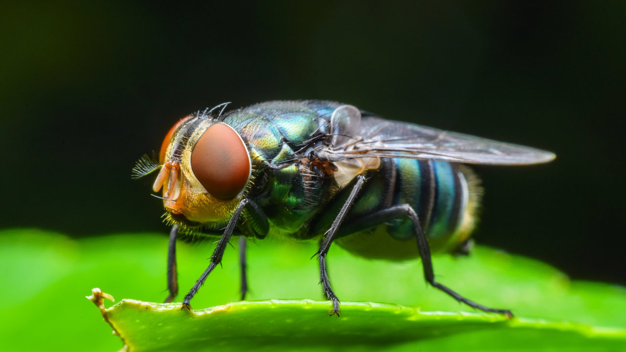 hmyz, moucha